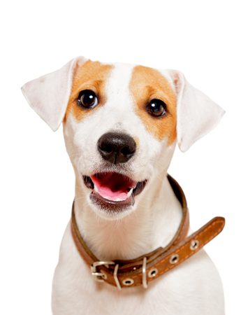 Cute young dog breed Parson Russel Terrier, isolated on white background