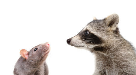 Portrait of a funny rat and raccoon, closeup, isolated on white background Stock Photo
