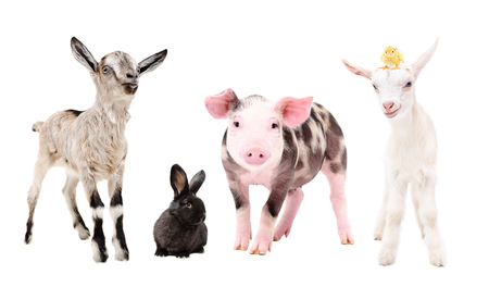Cute little farm animals, standing together, isolated on white background Stock Photo