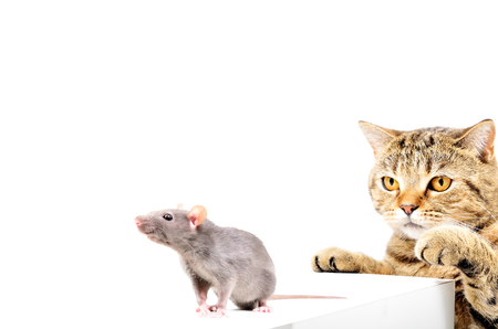 Cat Scottish Straight hunts gray rat, isolated on white background