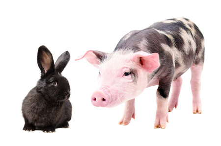 Portrait of a curious pig and cute black rabbit, isolated on white background