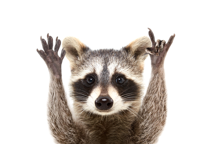 Portrait of a funny raccoon showing a rock gesture, isolated on white background Stockfoto