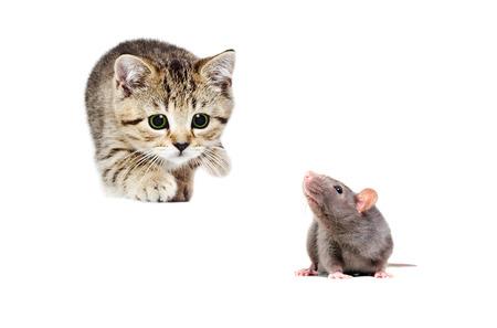 Little kitten Scottish Straight hunts gray rat, isolated on white background Stock Photo
