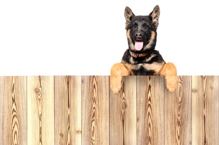 Portrait of a German Shepherd puppy, peeking from behind a fence, isolated on white background