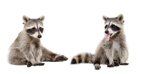 Two funny raccoons sitting isolated on white background