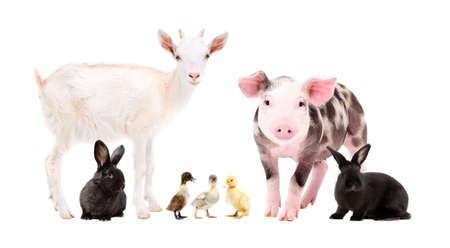 Lindos animales de granja juntos aislado sobre fondo blanco.
