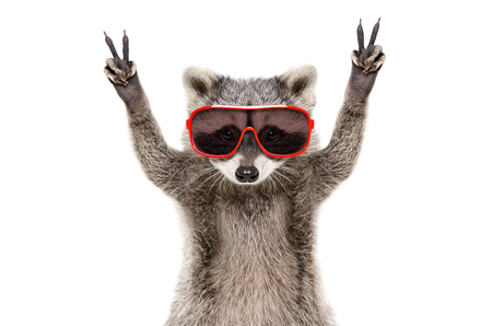 Portrait of a funny raccoon in sunglasses, showing a sign of peace, isolated on white background