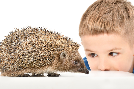 Portrait of a cute boy watching a hedgehog, isolated on white background Stock Photo