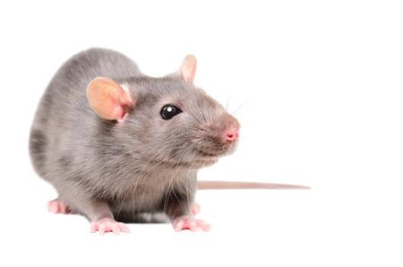Portrait of a cute sniffing rat Banco de Imagens