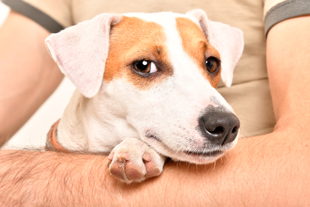 Dog Jack Russell Terrier in his arms of his owner