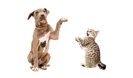 Playful pit bull puppy and a kitten