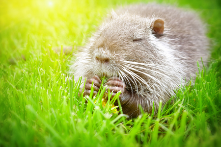 Funny nutria, eating a dandelion, sitting in the grass Imagens