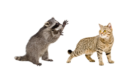 Playful raccoon and cat Scottish Straight