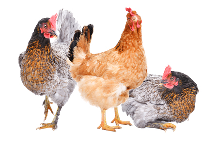 Three hens together isolated on white background