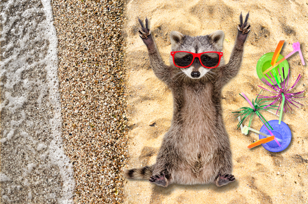 Funny raccoon in sunglasses lying on the beach