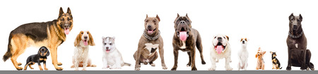 Group of eleven dogs isolated on white background Banco de Imagens