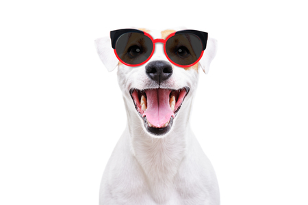 Jack Russell Terrier in sunglasses