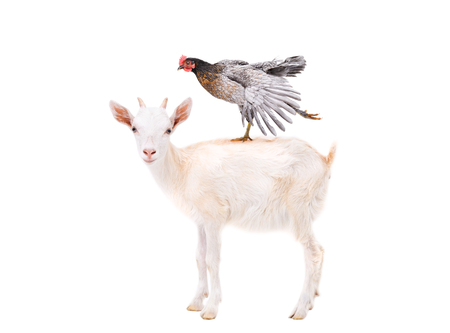 Cute goatling standing with chicken on the back