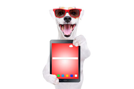 Jack Russell Terrier in sunglasses with tablet