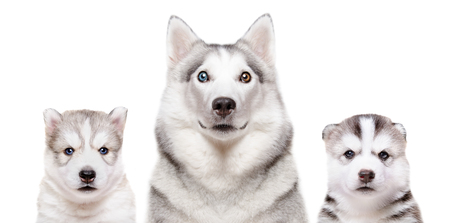 Portrait of a dog breed Siberian Husky with puppies