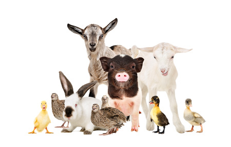 Cute farm animals together isolated on white background Фото со стока
