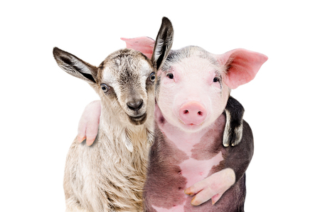 Portrait of a goat and a pig embracing