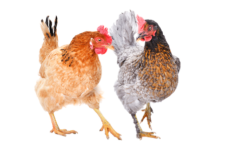 Two hens together isolated Banco de Imagens