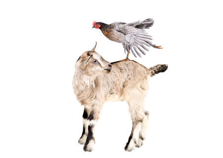 Little goatling standing with chicken on the back Banco de Imagens