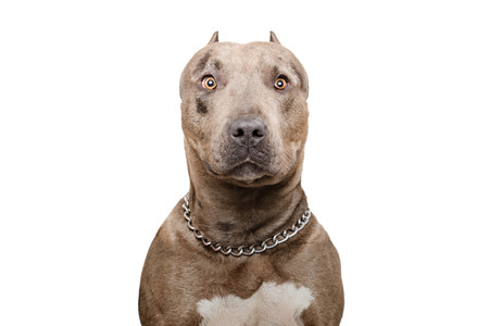 Portrait of a pitbull dog Stock Photo