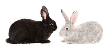 Black and gray rabbits sitting isolated on white background