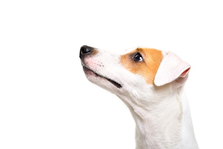 Portrait of a Jack Russell Terrier dog looking up, side view
