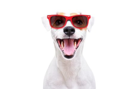 Portrait of a funny dog Jack Russell Terrier in sunglasses
