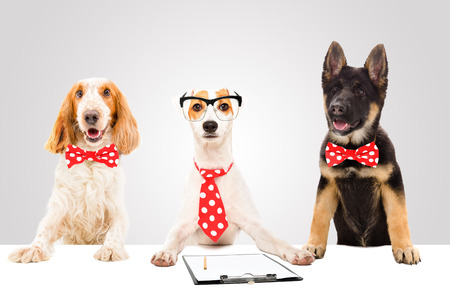 Three funny office dogs on gray background