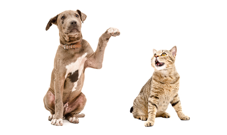 Playful Pit bull puppy and funny cat