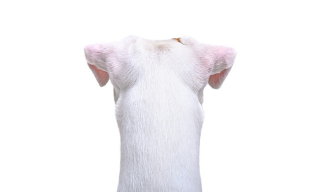 Jack Russell Terrier, closeup, back view, isolated on white background