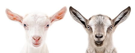 Portrait of a white and gray goats, closeup, isolated on white background Banco de Imagens
