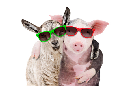 Portrait of a goat and a pig embracing each other in sunglasses Banco de Imagens