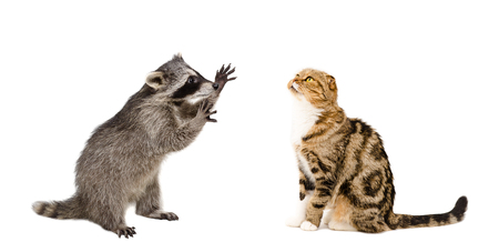Funny raccoon and cat Scottish Fold