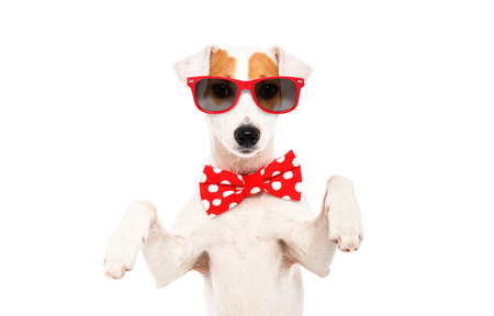 Portrait of a funny dog Jack Russell Terrier in a bow tie and sunglasses