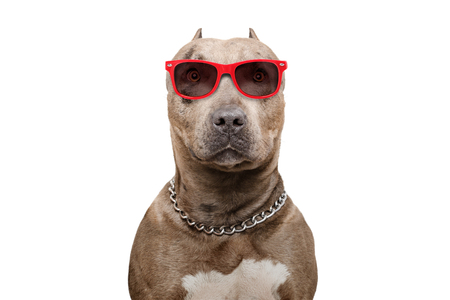 Pit bull in sunglasses isolated on white background