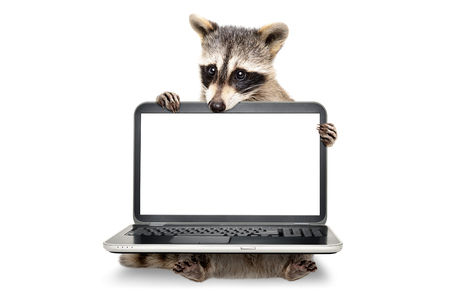 Portrait of a cute raccoon sitting with laptop Banco de Imagens