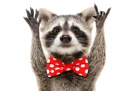 Portrait of a funny raccoon in bow showing a rock gesture Banco de Imagens - 119754726