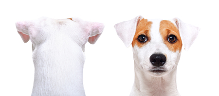Jack Russell Terrier, closeup, back view and front view, isolated on white Banco de Imagens