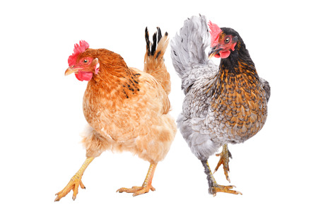 Two hens standing isolated on white
