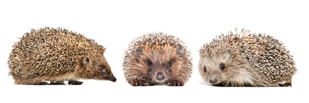 Three cute hedgehogs isolated on white