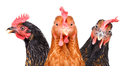 Portrait of three chickens, closeup Stock Photo