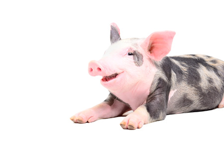 Funny little pig smiling Stock Photo