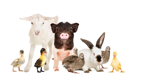 Cute farm animals together