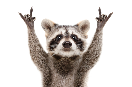 Portrait of a funny raccoon showing a rock gesture isolated on white