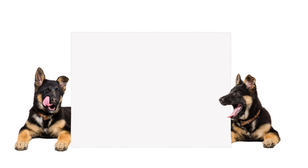 German Shepherd puppies peeking from behind banner isolated on white